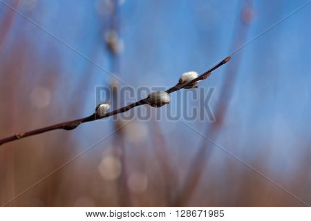 Pussy-willow branch in the beginning of spring
