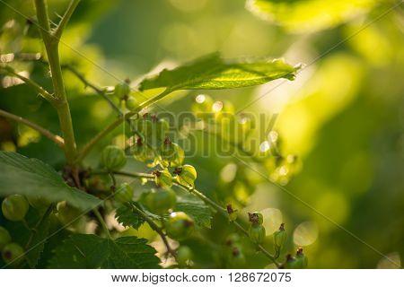 green currants in the summer garden, sunny day. Macro sloseup shot.