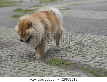 Purebred Dog Chow Chow standing on  the  street