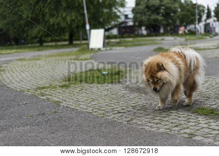 a chow chow dog walking on the street