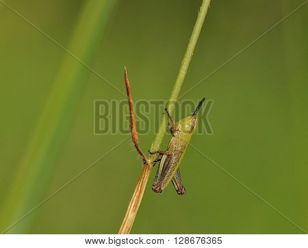 grasshopper on a blade of grass in nature
