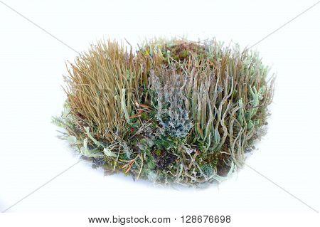 Element Of Garden Composition - Elegant Lichens