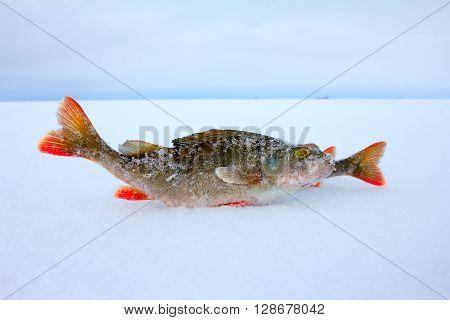 Winter Ice Fishing Perch