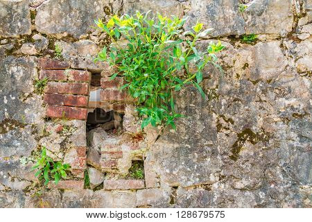 Dilapidated stone wall with grass sprouted from it closeup
