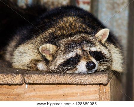 Sleeping raccoon close-up on a wooden platform