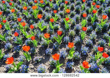 Vegetative background of red tulips and blue small flowers.