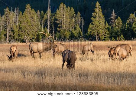 a bull elk with his cows in the fall rut