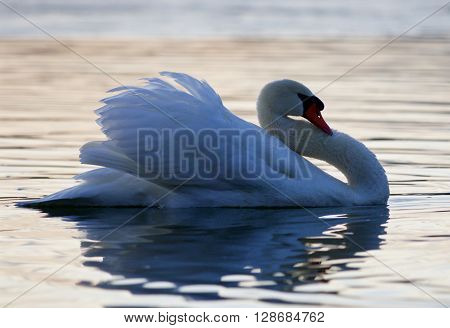 Beautiful isolated picture with a mute swan in the lake on sunset
