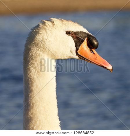 Beautiful portrait of the mute swan near the lake