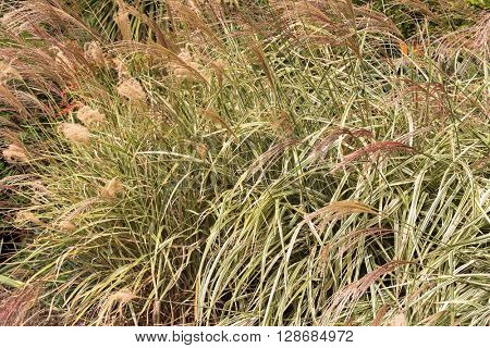 Closeup of ornamental grass, Miscanthus sinensis, Chinese Silver grass growing in the garden in Australia