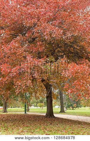 Big Oak trees in the park at Royal Botanic Gardens turning leaves into Autumn red shade, Australia