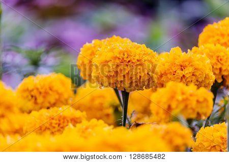 Marigolds (Tagetes erecta, Mexican marigold, Aztec marigold, African marigold) ** Note: Soft Focus at 100%, best at smaller sizes