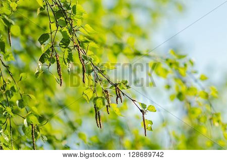 green young birch branch with catkins on sunlight