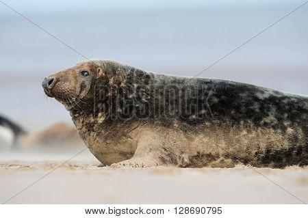 Atlantic Grey Seal (Halichoerus Grypus) on beach