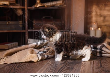 Kitten scottish fold breed on a color on a color background background
