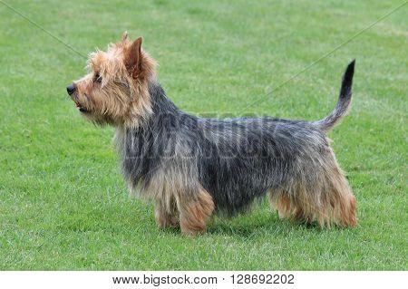 Typical Australian Terrier in the spring garden