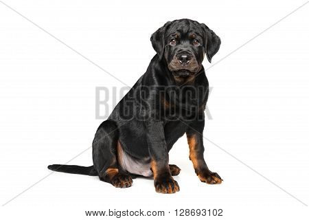 Adorable Rottweiler puppy on a white background
