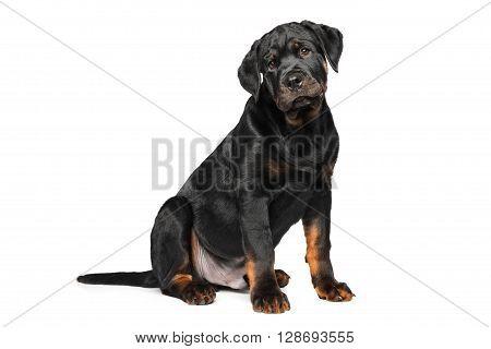 Rottweiler Puppy On White