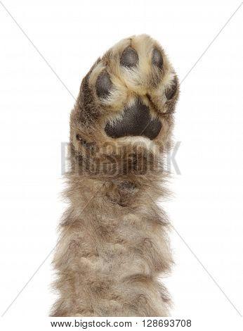 Dog paw isolated on  a white background