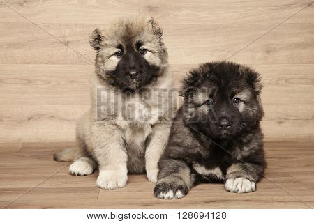 Caucasian shepherd puppies posing on wooden background