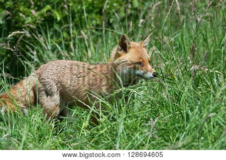 Red Fox (Vulpes Vulpes) in deep green grass