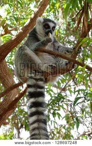 Ring-tailed lemur eating the fruit on the tree at Monkey park Tenerife Canary island