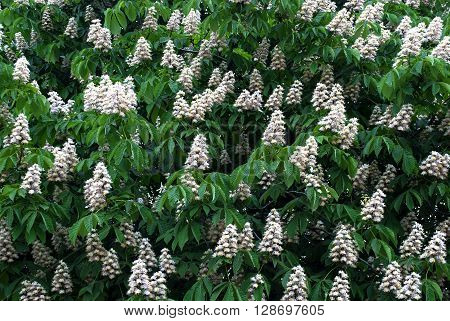 Horse chestnut tree spring magic plant with green leaves and flowers