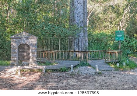 MILLWOOD SOUTH AFRICA - MARCH 4 2016: A monument and 880 year old yellowwood tree in the Knysna Forest dedicated to Dalene Matthee a renowned South African author