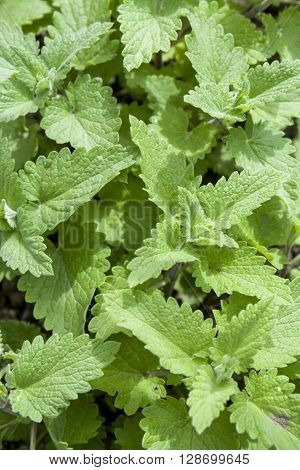 Fresh Green Background With Melissa Plant, Lemon Balm, Melissa Officinalis