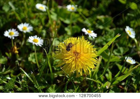 yellow dandelion gets pollinated by a bee