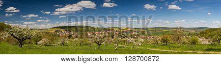 Panorama of apple tree blossom in spring Duedesheim Wetterau Hesse Germany