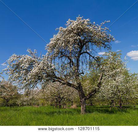 Ancient apple tree blossom Wetterau Hesse Germany