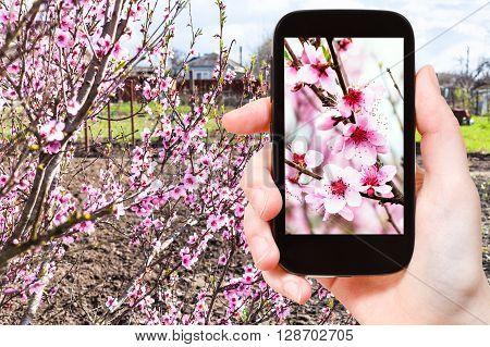 Farmer Photographs Pink Peach Flowers On Tree