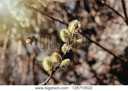 Beautiful Fluffy Willow Buds And A Bumblebee In Sunny Nature, Springtime
