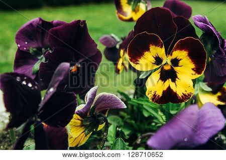 Beautiful Colorful Flowers Viola Tricolor In Botanical Garden In Spring Time