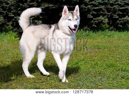 Husky looks ahead. The husky is on the green grass.
