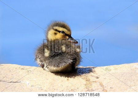 A little mallard duckling sitting on a rock.