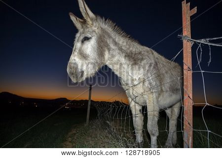 A funny donkey performs for the camera at sunset