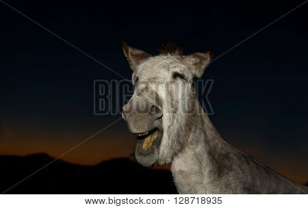 A funny donkey performs for the camera at sunset Don Alvaro Badajoz Spain