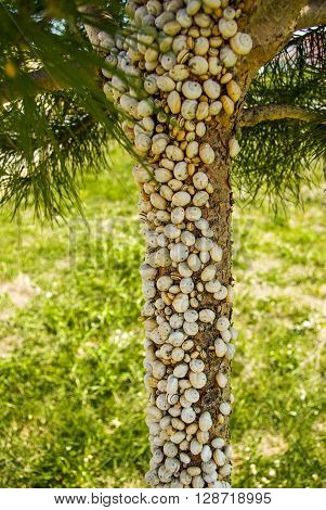 Pine tree full of little snails in nature