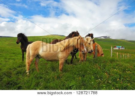 Well-groomed horses graze and play with each other in a meadow near the farm. Herd of Icelandic horses magnificent