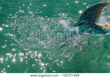 COOGEE,WA,AUSTRALIA-APRIL 3,2016: Mermaid Tail in Indian Ocean, entertainer in costume at the Coogee Beach Festival in Coogee, Western Australia.