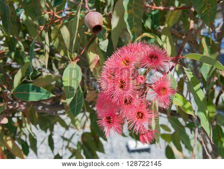 Western Australian red flowering gum eucalyptus plant with bright flowers, nuts and green leaves.