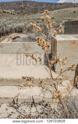 Dead thistle against the runs of a building in a ghost town with the background bokeh emphasizing the sharpness of the plant and the concrete providing room for a message