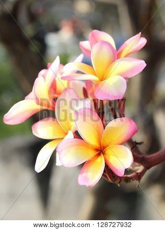 Pink Flower Frangipani Or Plumaria
