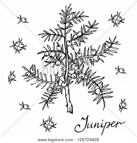 Vector branch of Juniper with berries. Hand drawn herbal illustration in sketch style.