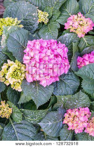 Pink hydrangea. A lot of hydrangeas bloomed around