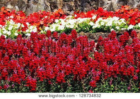 Red snapdragon flowers with white petunias and red begonias to the rear.