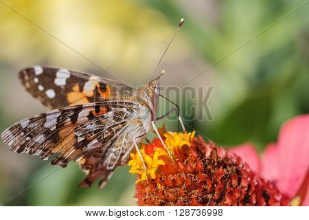 Butterfly eating nectar and pollen in a flower