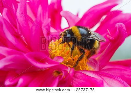 Bee eating pollen and nectar in a dhalia